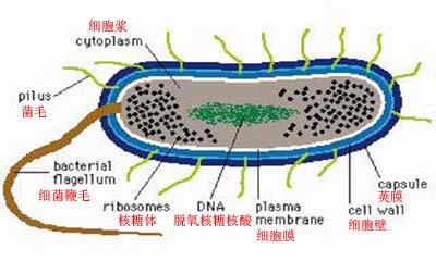 (一)细菌的基本结构