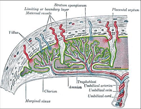 胎盘屏障的组织结构图